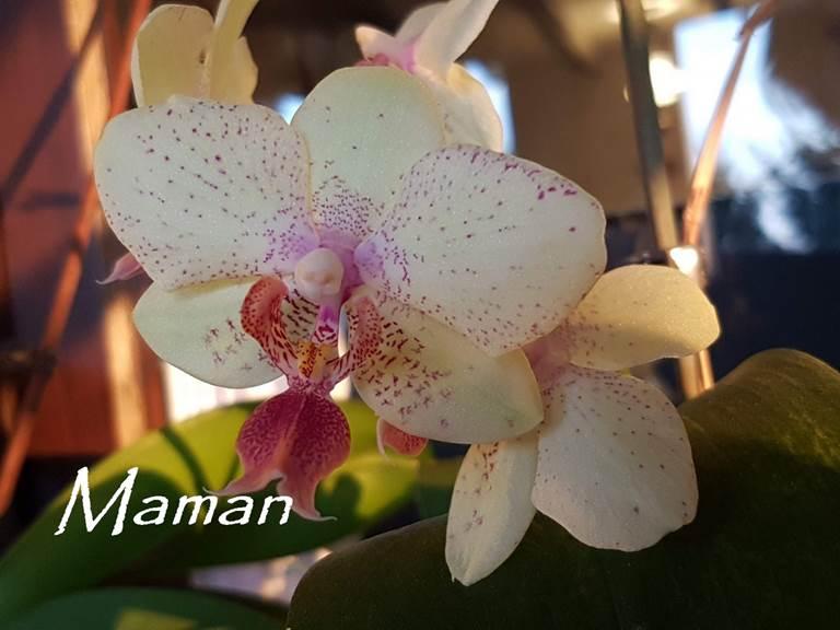 20190411_195829  Maman orchidée blanche