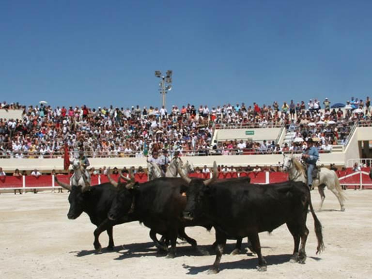Camargue toros