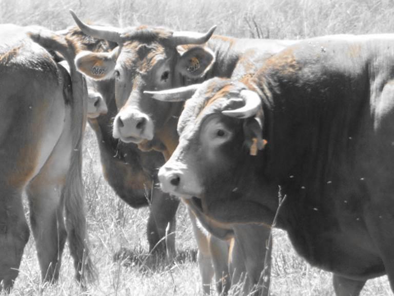 Les vaches limousines