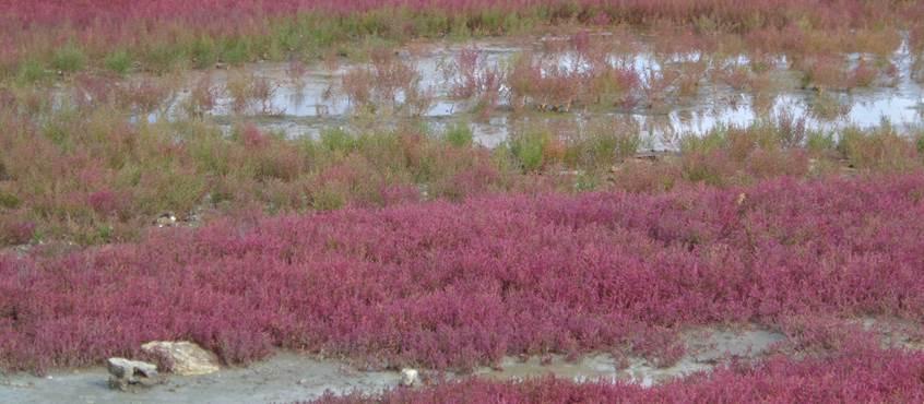 Marais salants et ses salicornes