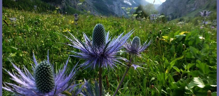 Chardon bleu des Alpes
