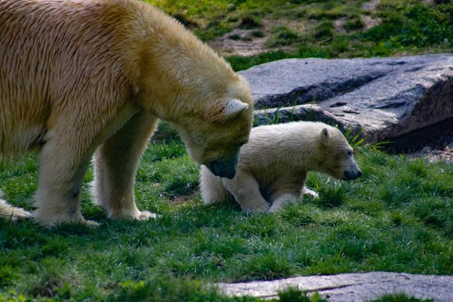 zoo de mulhouse ours blanc