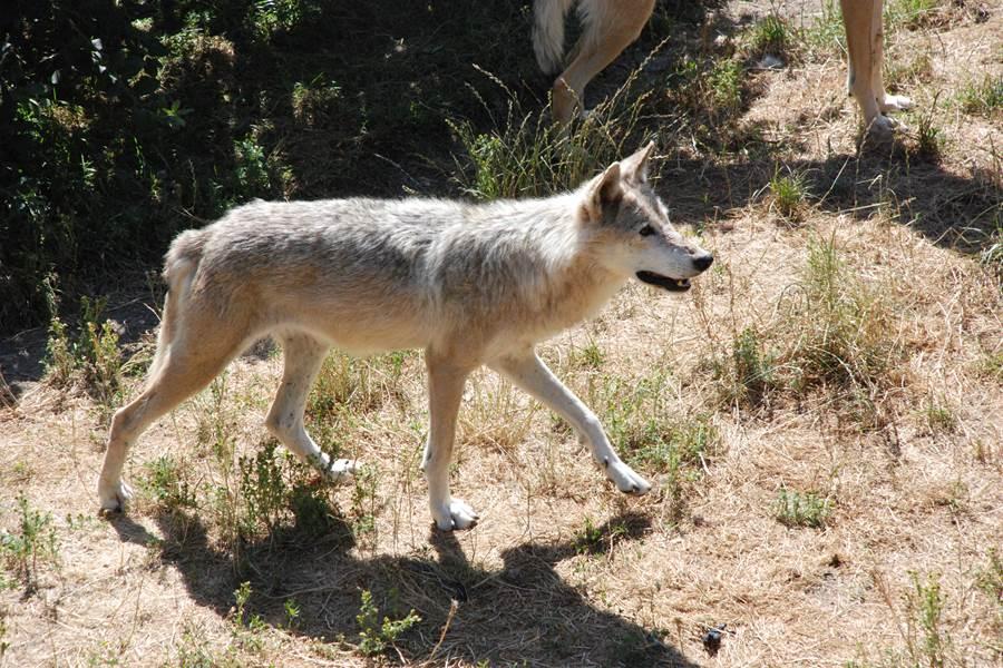 Les Chalets de la Margeride Le Loup en recherche de son repas