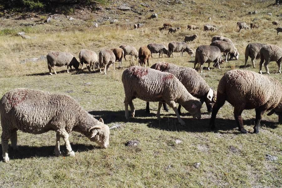 Moutons à Chambran