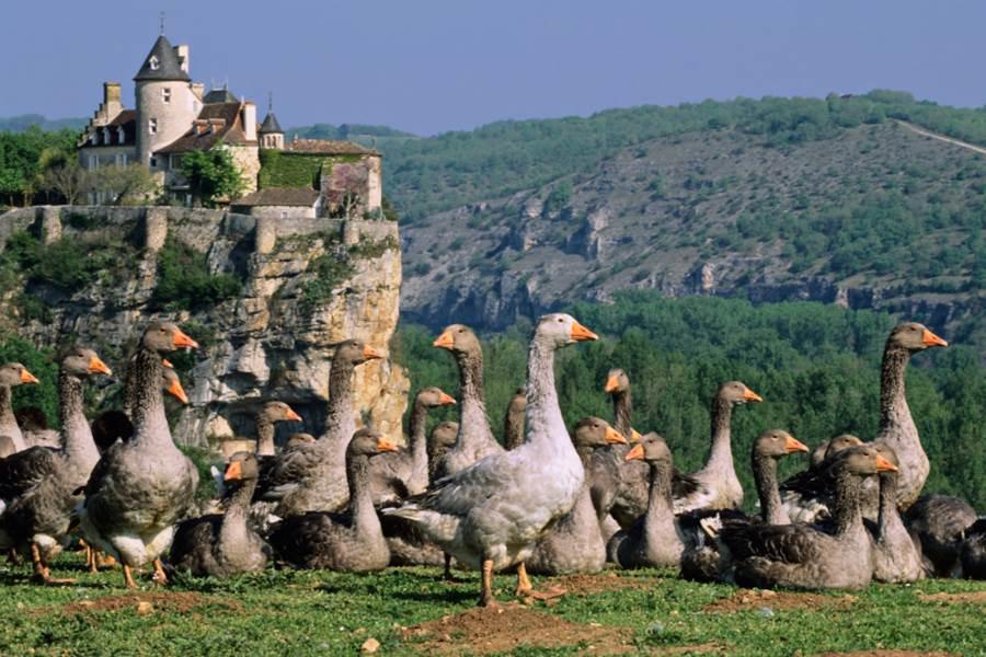 Les oies de la vallée de la Dordogne