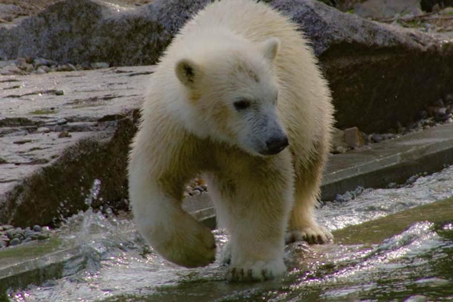 Le zoo de Mulhouse avec les ours blancs