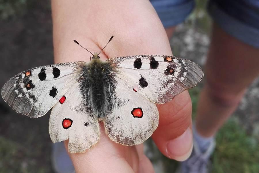 Papillon Apollon
