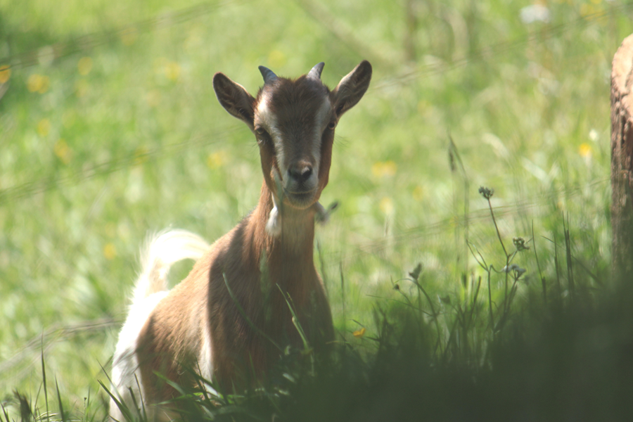 Une de nos deux petites chèvres, cacahuète