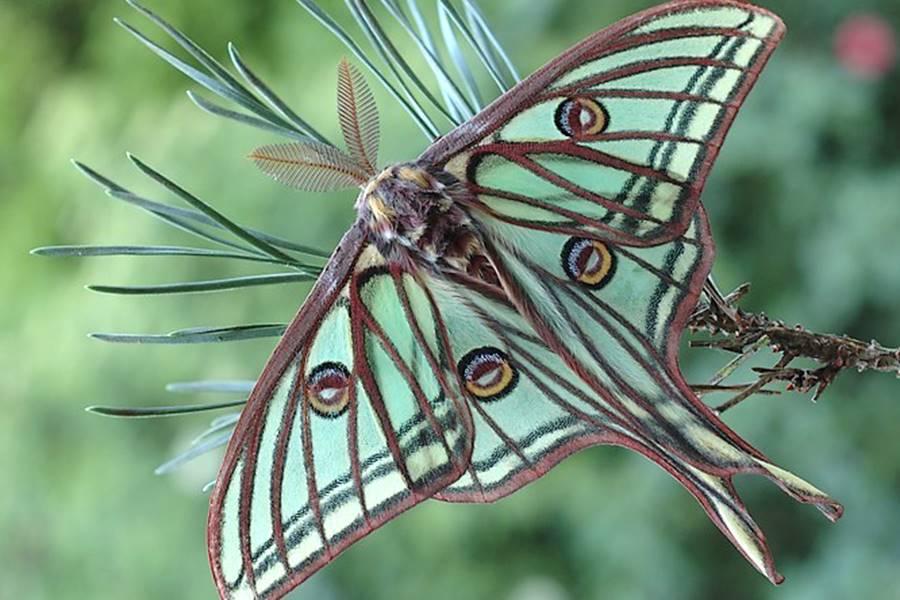 Papillon Isabelle