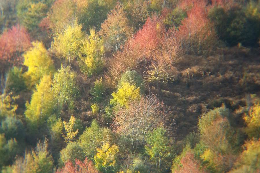 Merisiers en feuilles d'automne