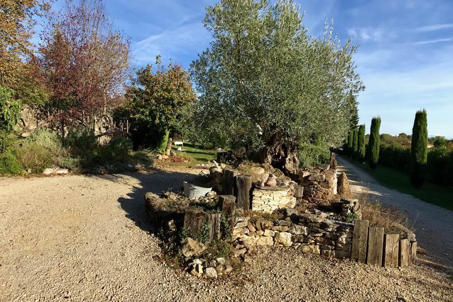 Notre olivier sous le soleil de novembre