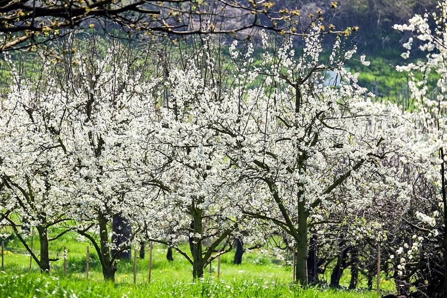 cerisier en fleur alsace vosges