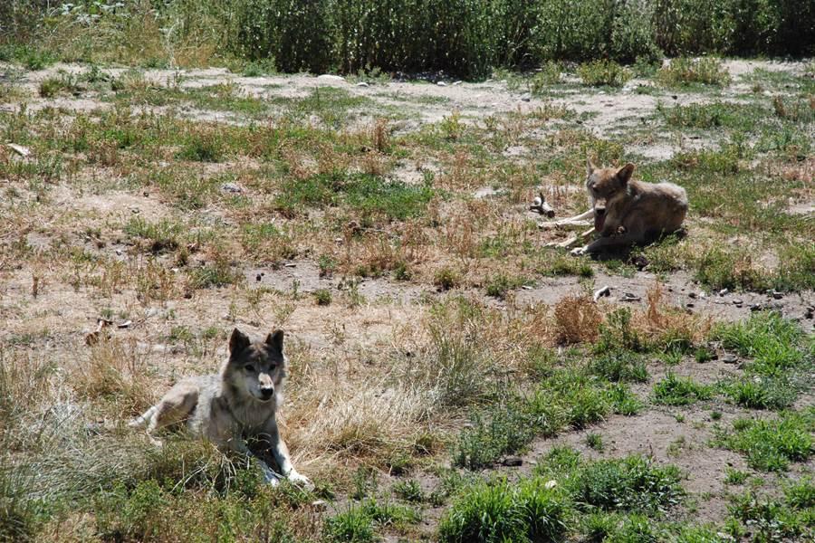 Les Chalets de la Margeride Couple de loups